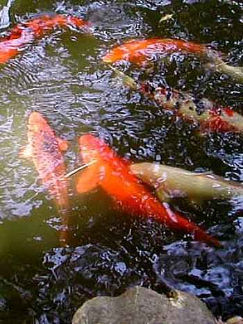 pond with large koi