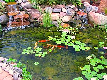 koi pond with water lillies